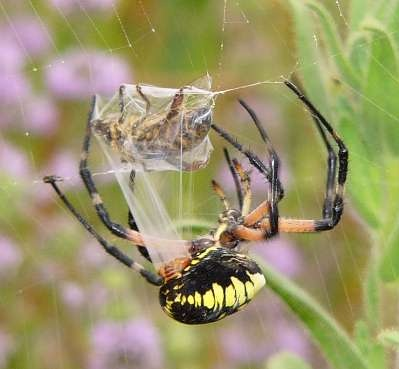 spidercapture